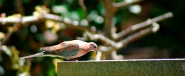 Karra pigeon.jpg